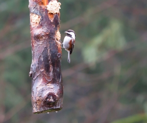 Western Chestnut-backed Chickadee