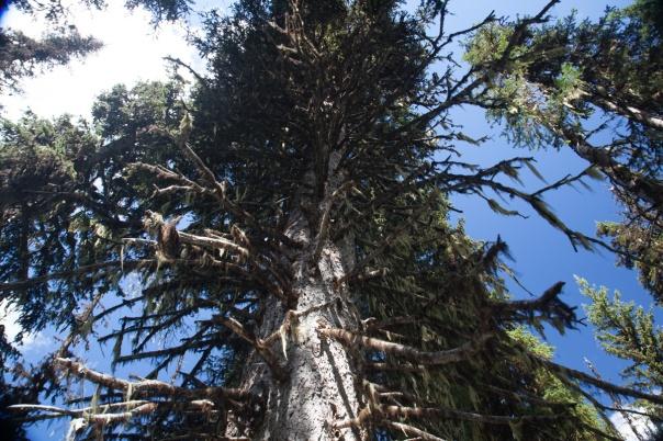 scraggly-tree-1