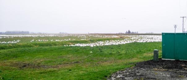 Snow geese-1