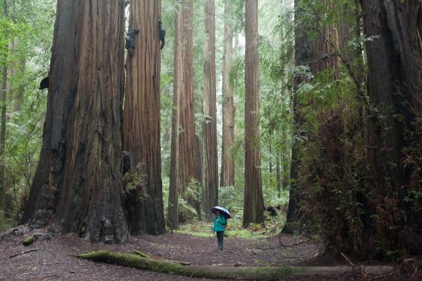Redwoods D4-10