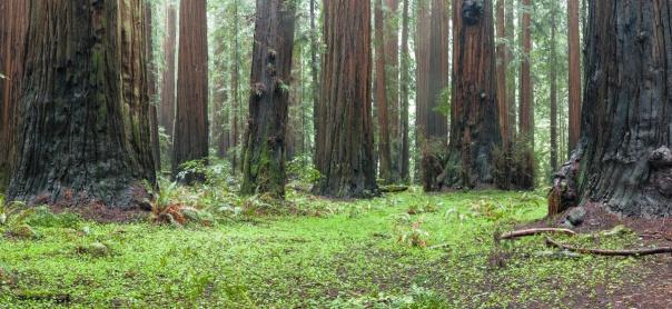 Redwoods D4-11