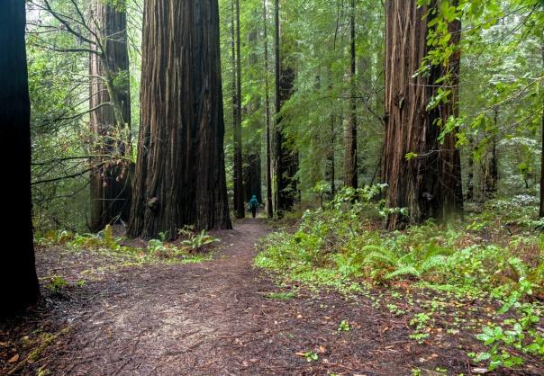 Redwoods D4-12