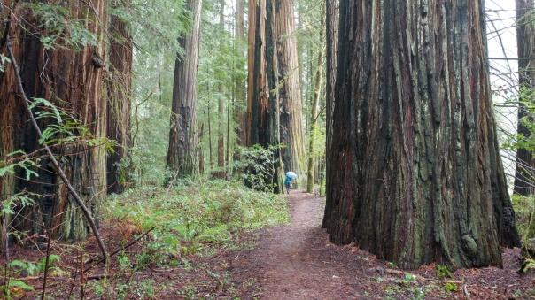 Redwoods D4-14