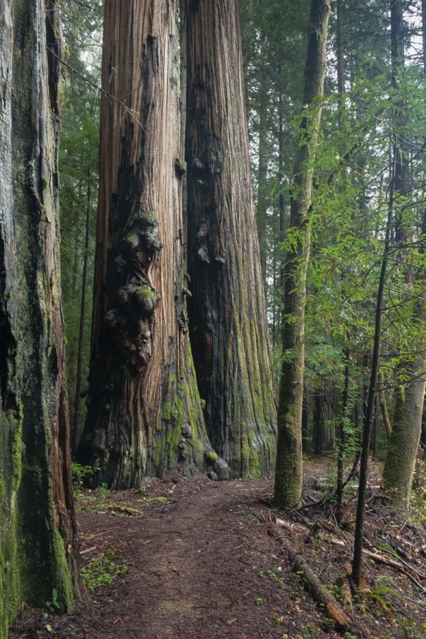 Redwoods D4-15