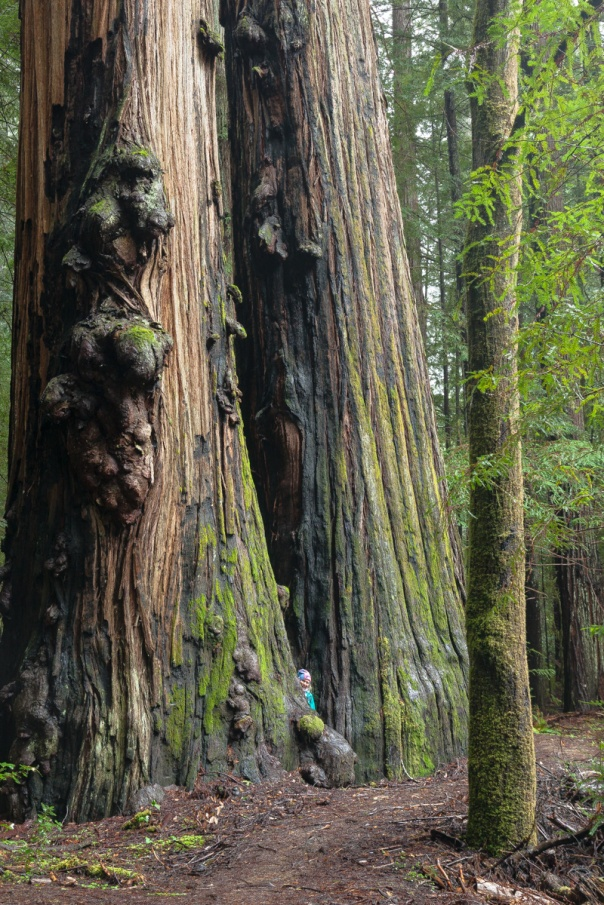 Redwoods D4-17