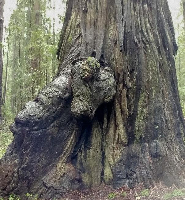 Redwoods D4-19