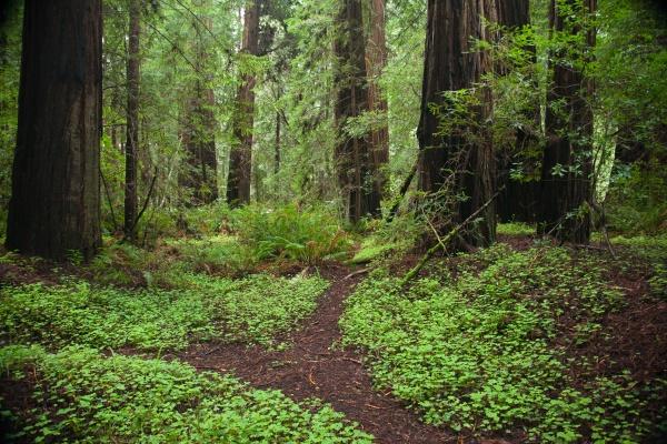 Redwoods D4-3