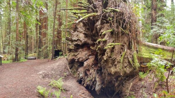 Redwoods D4-5