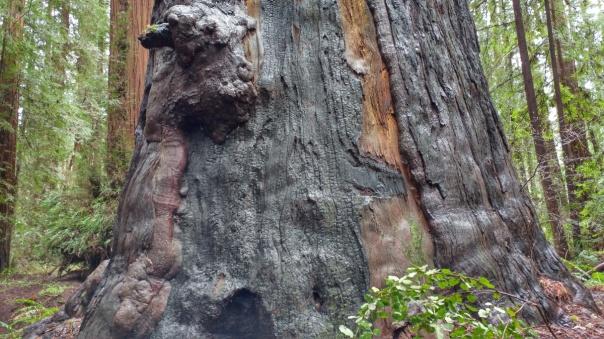 Redwoods D4-6