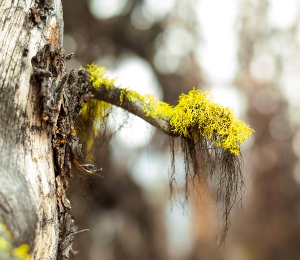 bryoria lichen macro-1