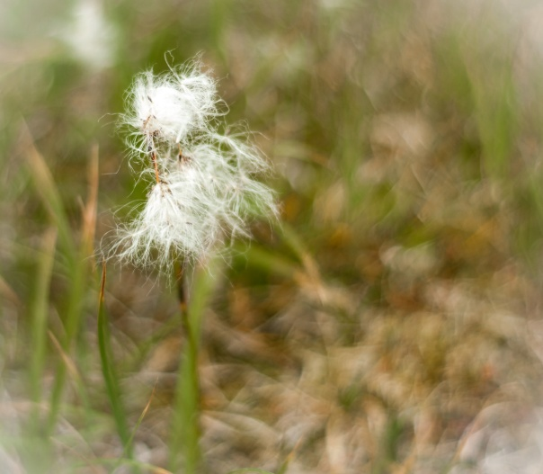 cotton grass-1