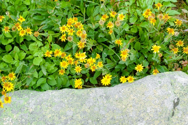 yellow flowers and rock-1