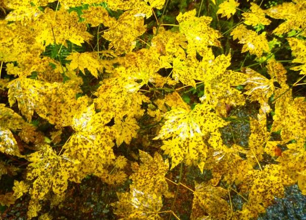 fall vine maple leaves-1