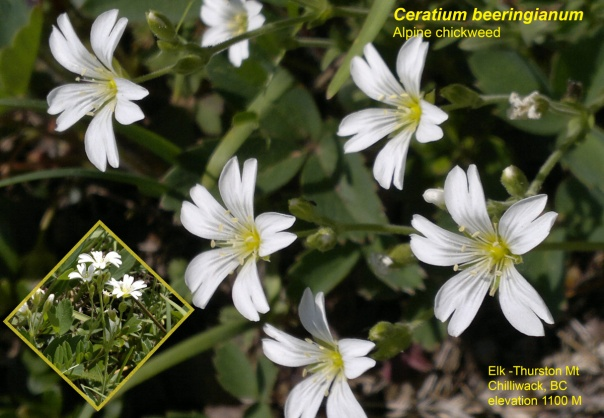 Alpine Chickweed-1