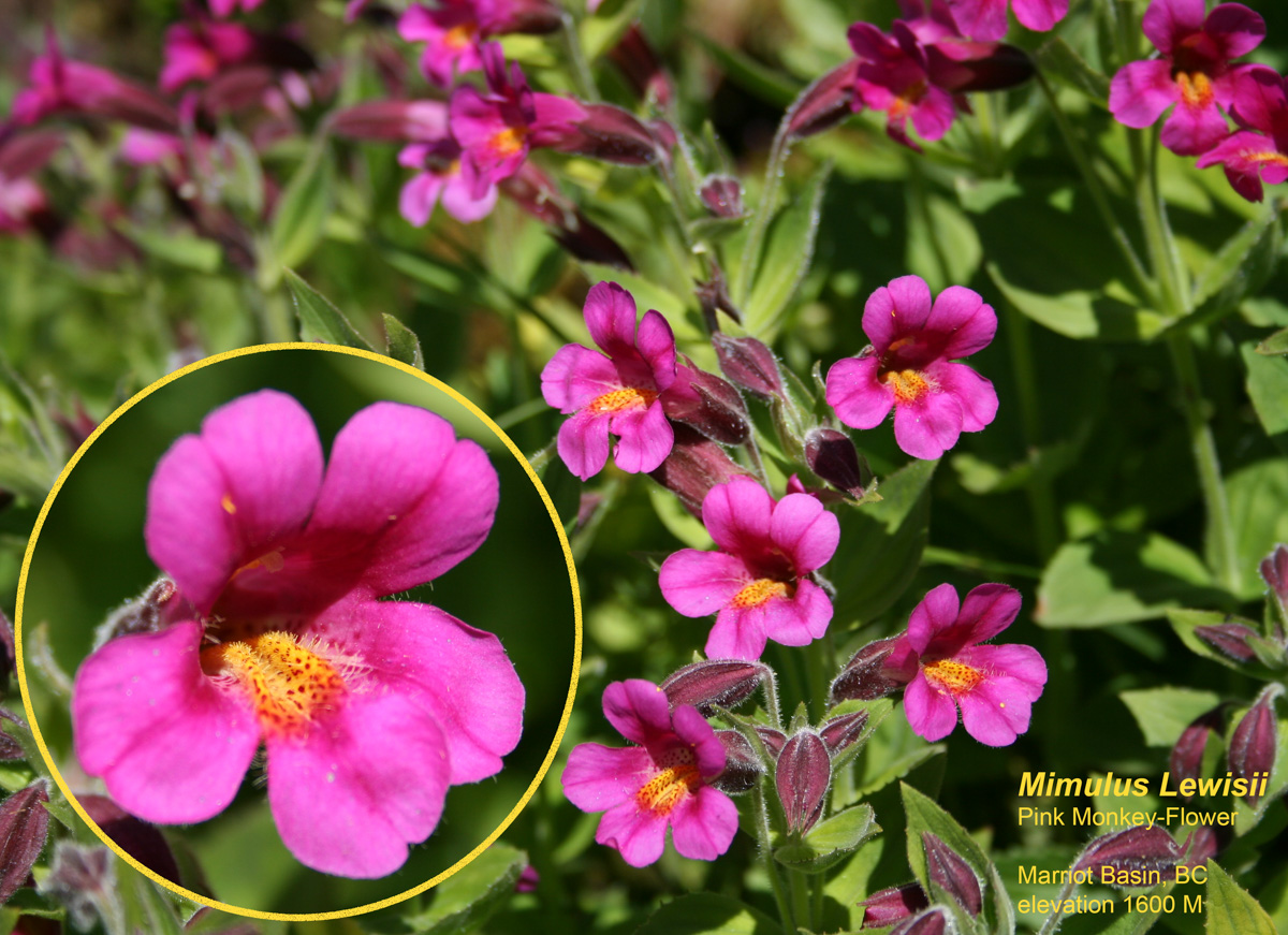 Pink Monkey flower-1