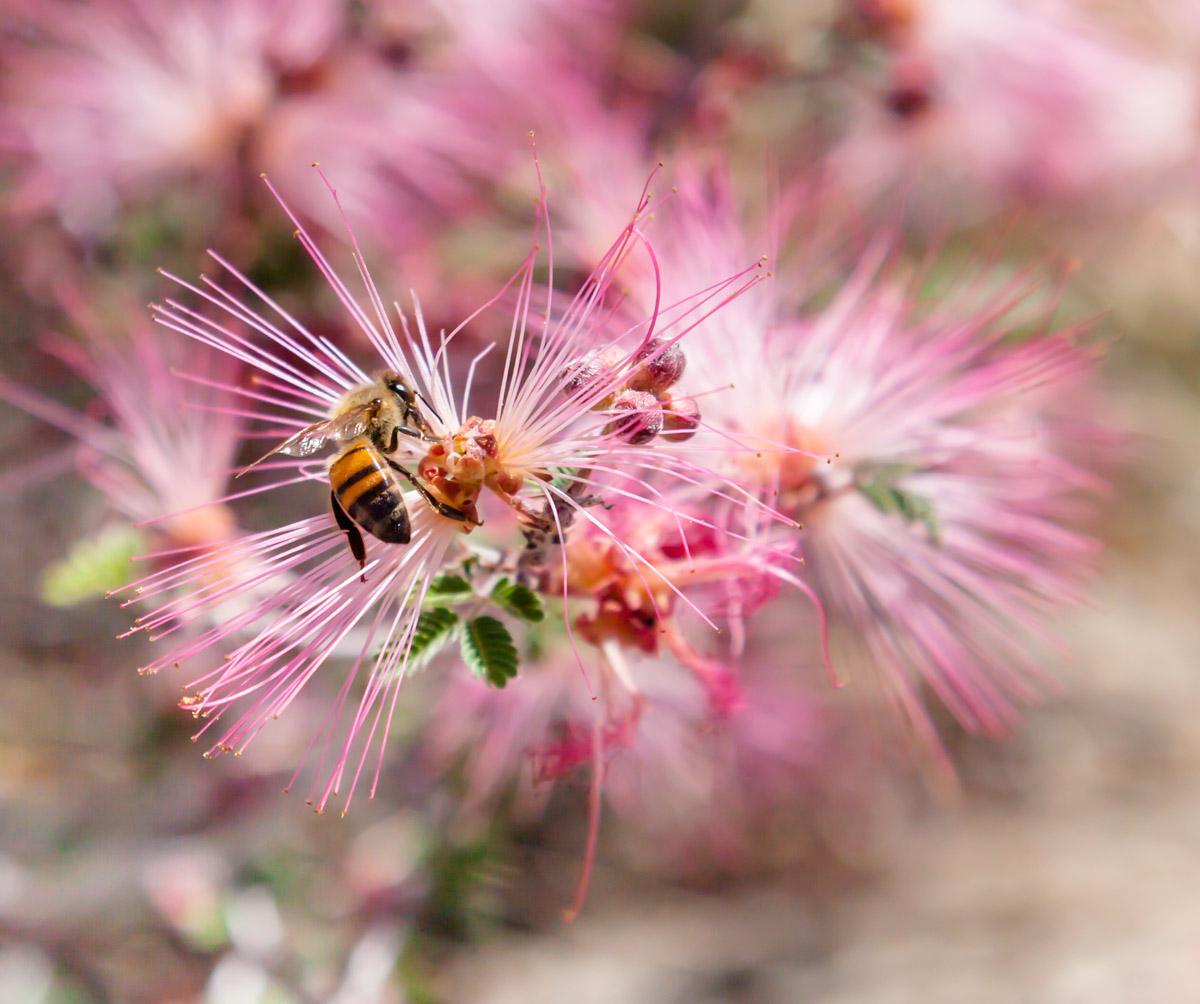 Bee on pink flowers-1