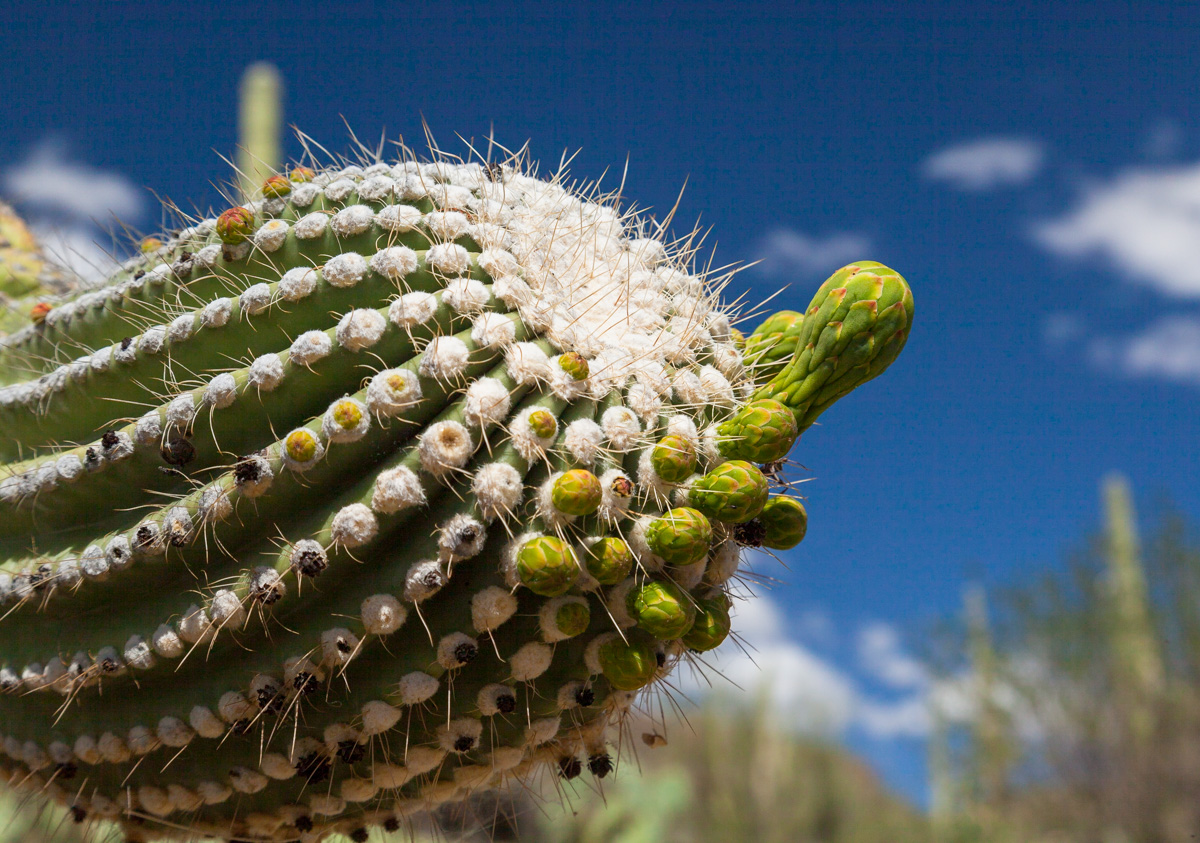 saguaro arm-1